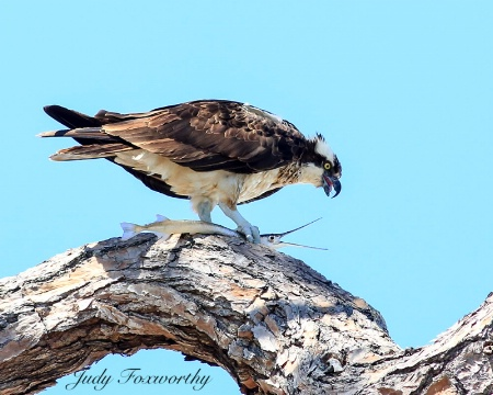 Osprey With A Needle Fish