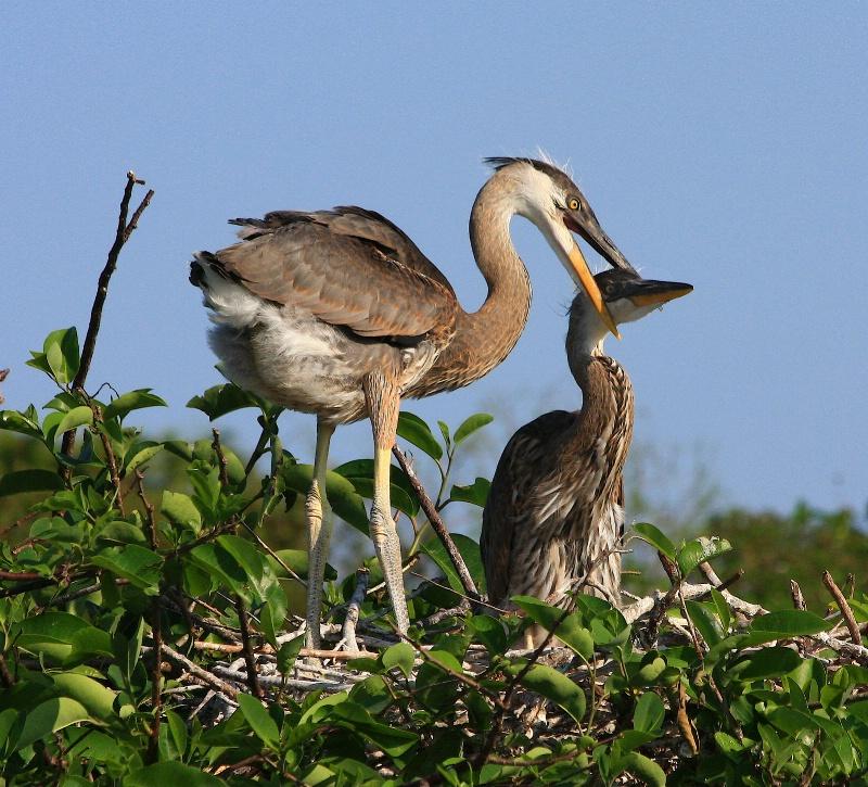 heron and chick