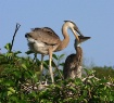 heron and chick