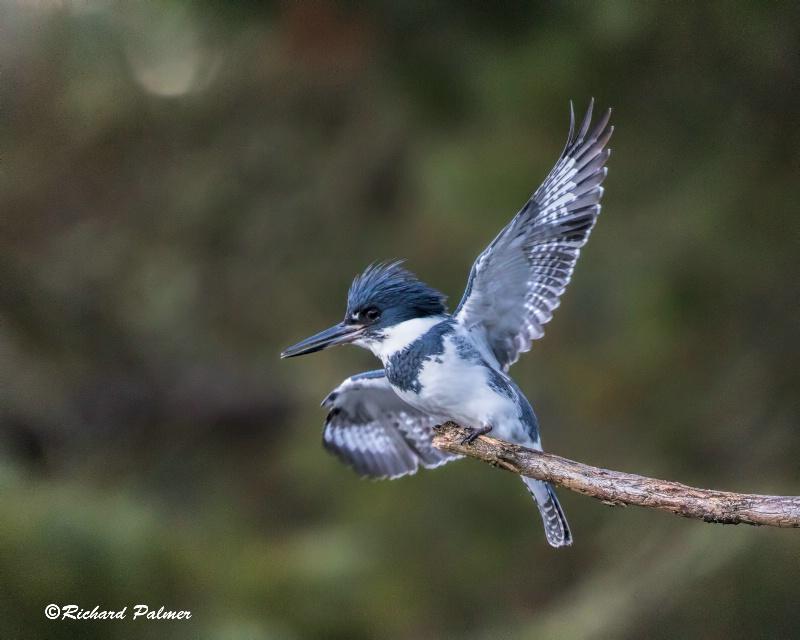kingfisher 2477