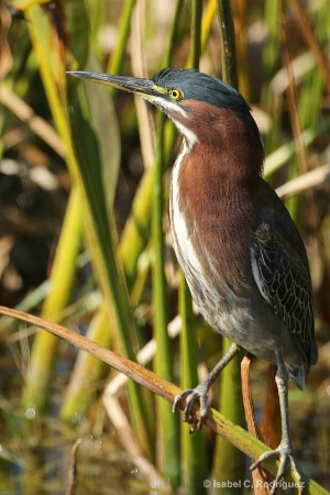 Green Heron Perched