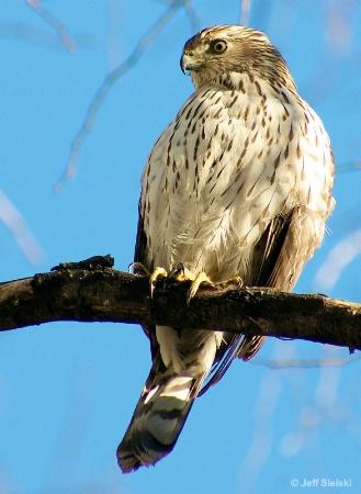 I'm Watching You!!!  Hawk Sitting In Tree