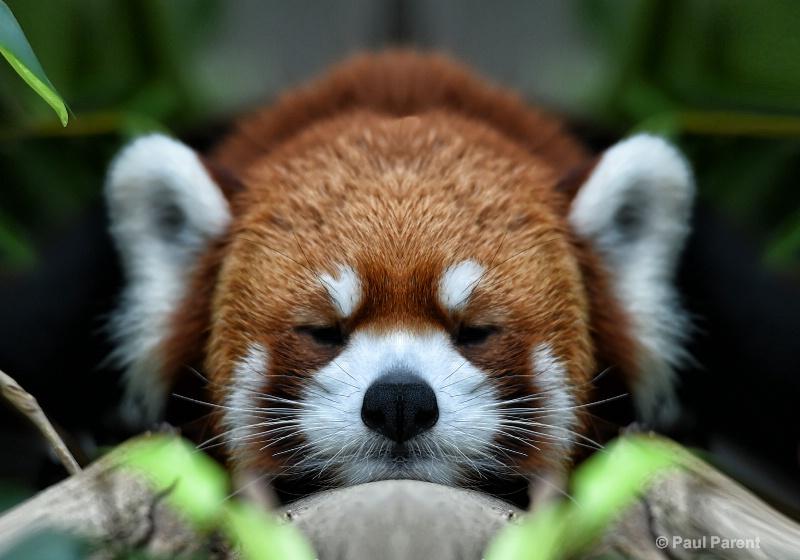 Red Panda Resting - ID: 14840056 © paul parent