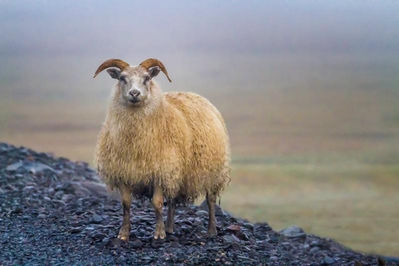 Sheep 7261 - ID: 14840105 © Karen Celella