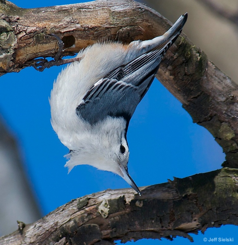 A Little Awkward!!  White-Breasted Nuthatch