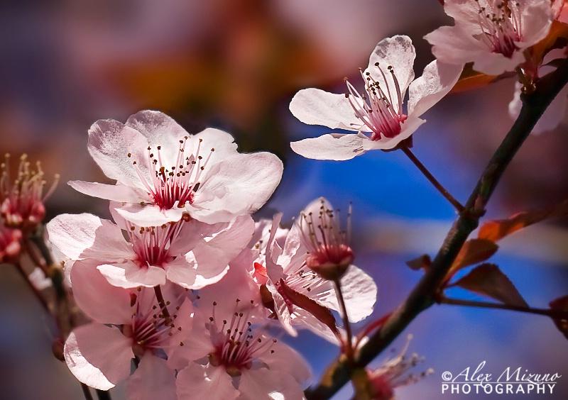 Messenger of Spring