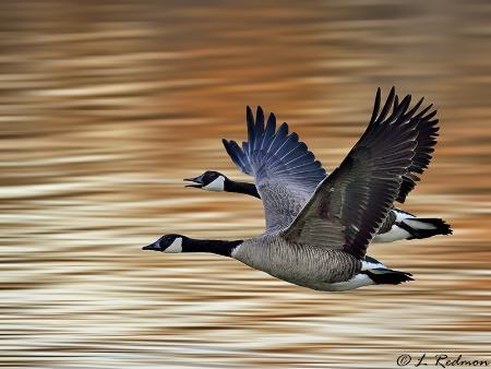 Arkansas River Geese