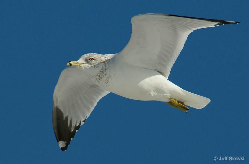Clear Skies Ahead!!  Seagull In Flight