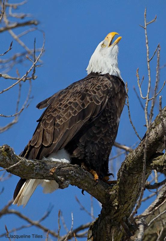 Bald Eagle Calling - ID: 14842886 © Jacqueline A. Tilles