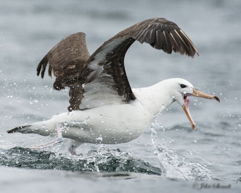 Black-browed Albatross - Nov 18th, 2014 - ID: 14844088 © John Shemilt