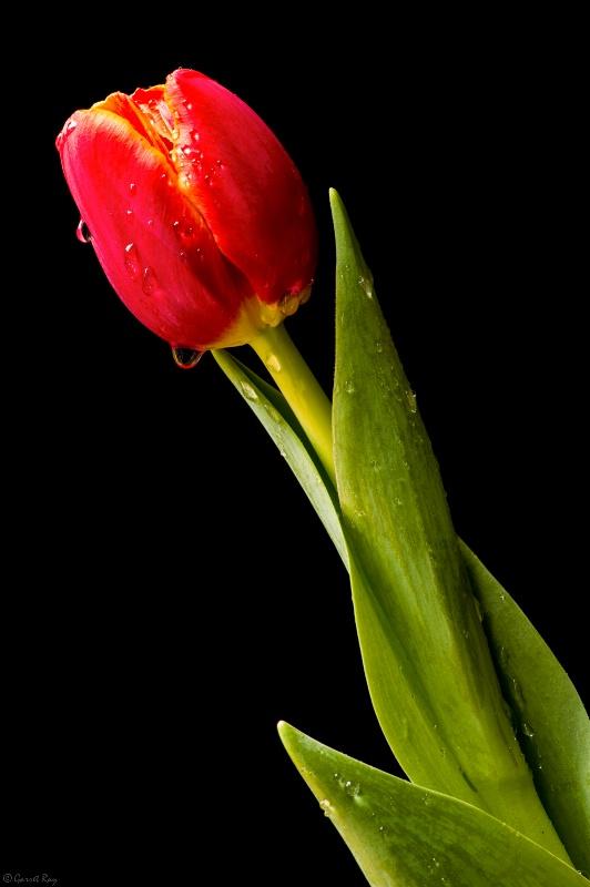 ~Tulip~
