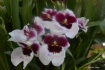 Dreamy Orchid
