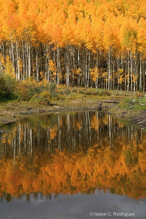 Reflection of Golden Aspens