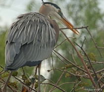 Great blue heron carrying nest materials