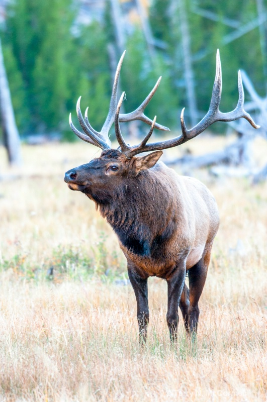 Bull Elk - ID: 14851785 © TERRY N. MCCORMAC