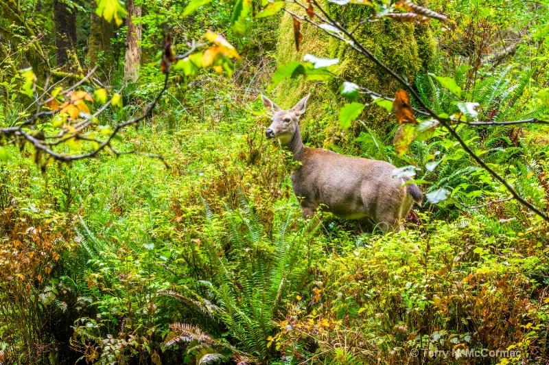 Mule Deer in Hoh Rain Forest - ID: 14851932 © TERRY N. MCCORMAC