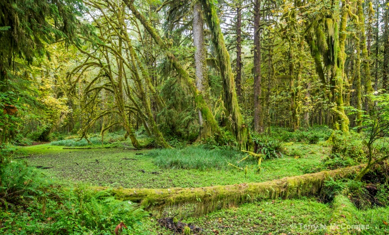 Quinault  Rain Forest - ID: 14853203 © TERRY N. MCCORMAC