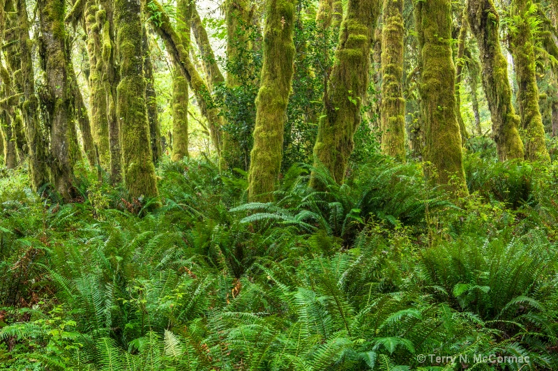Quinault  Rain Forest - ID: 14853206 © TERRY N. MCCORMAC