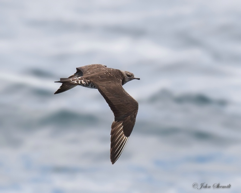 Parasitic Jaegar - Nov 9th, 2014 - ID: 14853394 © John Shemilt