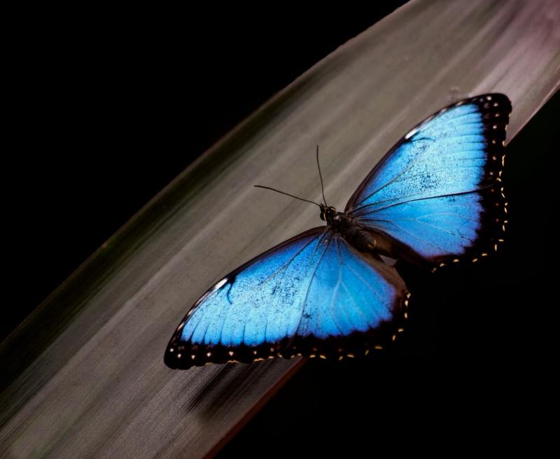 Blue Morpho #2 - ID: 14854600 © Denise Woldring