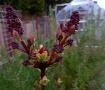 Lilac Ready to Bu...