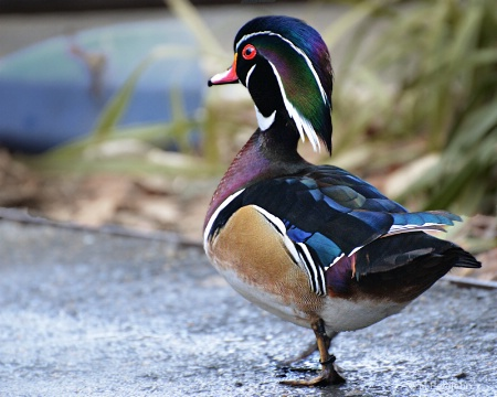 Strutting his  mating colors