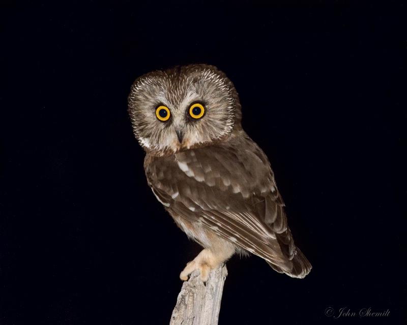 Northern Saw-whet Owl - March 23rd. 2015 - ID: 14863183 © John Shemilt