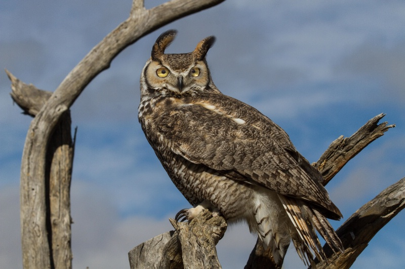 Great Horned Owl - ID: 14863763 © Walter B. Biddle