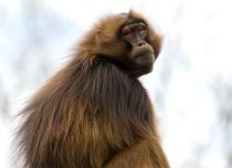 Humans Are Funny Looking!!  Gelada Baboon