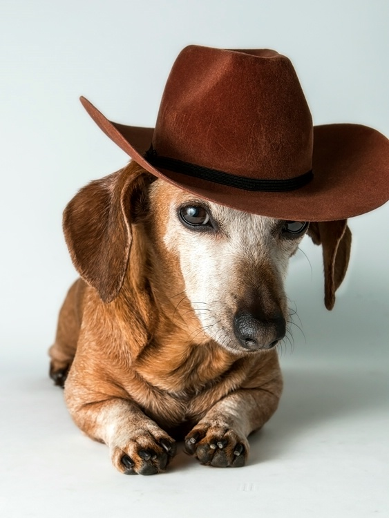 Little Doxie Cowgirl