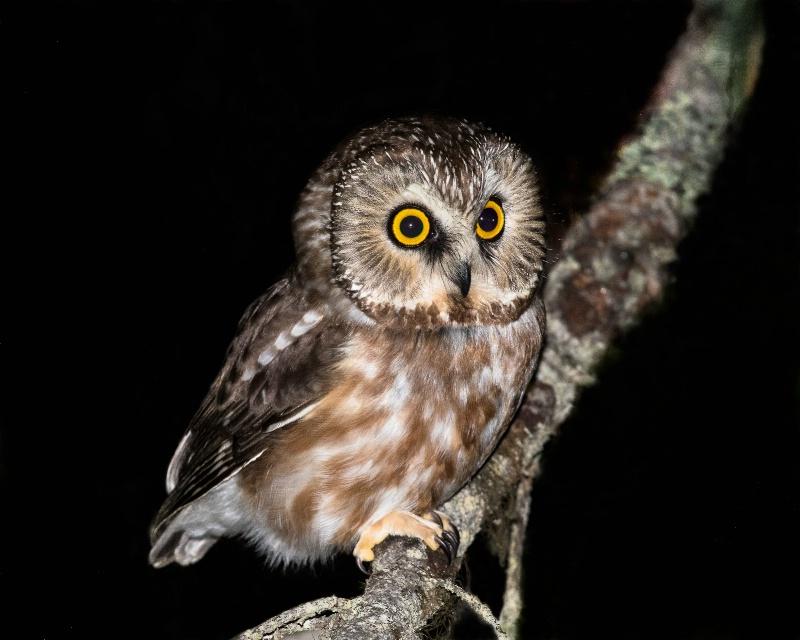 Northern Saw-whet Owl - March 21st. 2015 - ID: 14867178 © John Shemilt