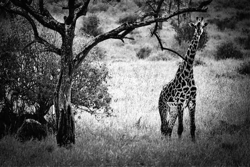 Tarangire Giraffe - ID: 14868678 © David Resnikoff