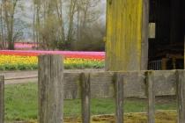 Weathered Wood and Tulips