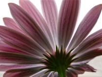 Under the daisy