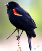 Red-winged Blackb...