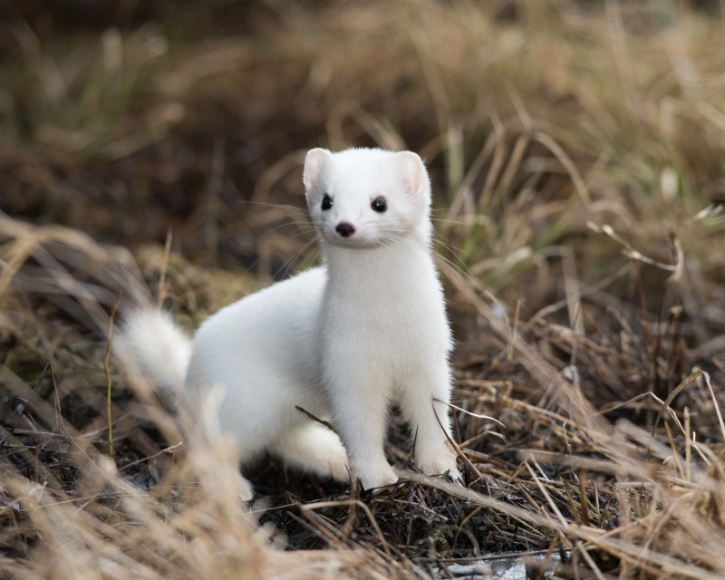 Short-tailed Weasel (Stoat) - March 21st, 2015 - ID: 14872449 © John Shemilt