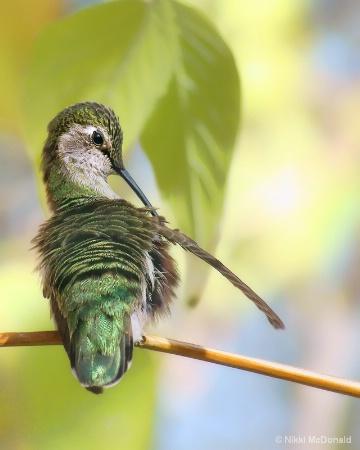 Anna's Hummingbird, Preening