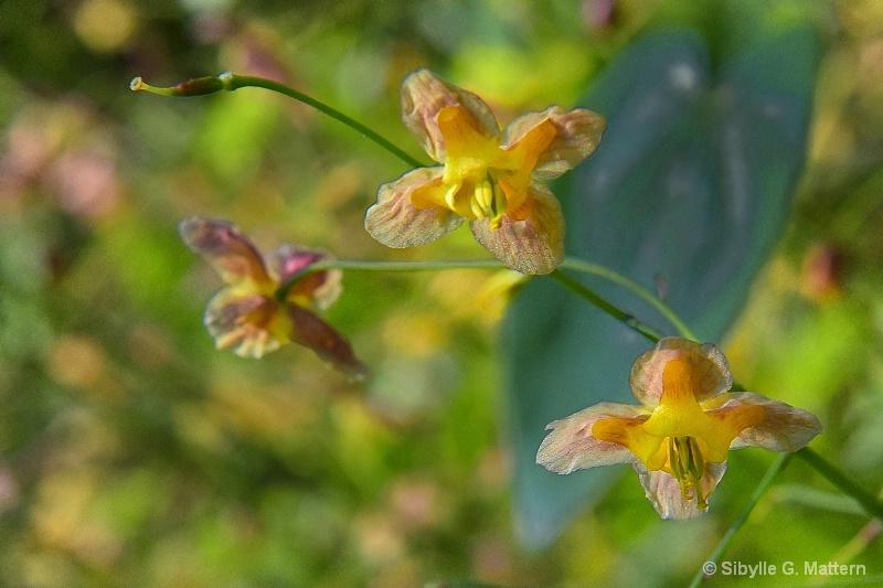 Elfenblümchen - ID: 14879280 © Sibylle G. Mattern