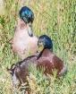 Duck Buddies