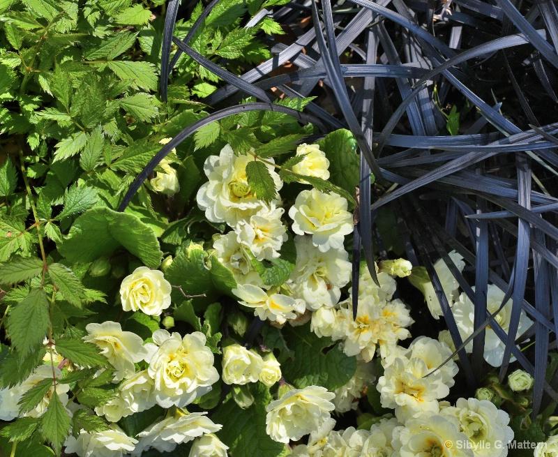 Primula, Astilbe chin. pumila and Ophiopogon nigr. - ID: 14884498 © Sibylle G. Mattern