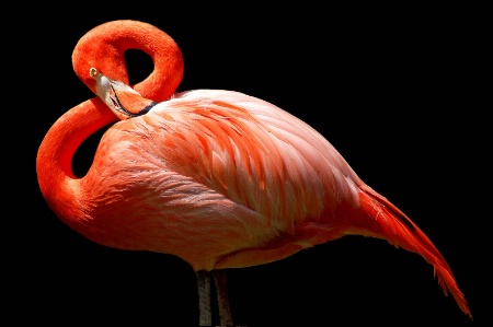 Flamingo in G major