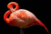 Flamingo in G major