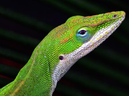 Texas Green Anole Lizard