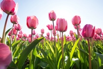 From the Tulip Fields
