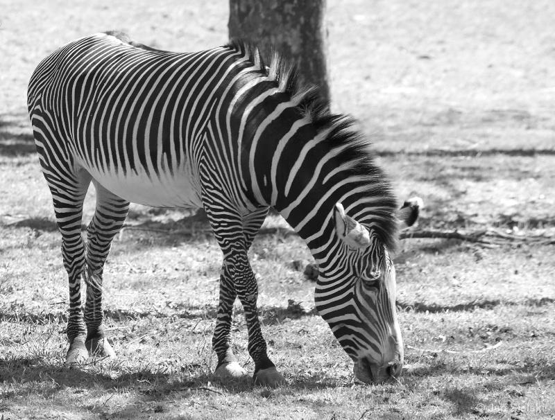 B&W On A B&W!!   Zebra
