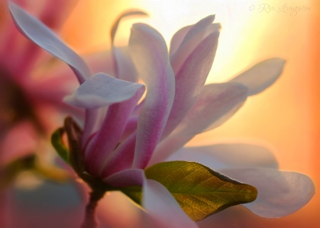 Photography Contest Grand Prize Winner - June 2015: Magnolia Blossom