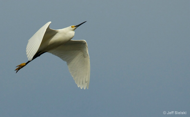 Take To The Skies!!  Egret In Flight