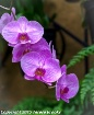 purple orchid 1a
