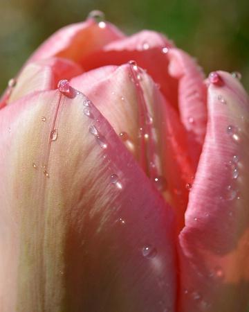Tulip Top