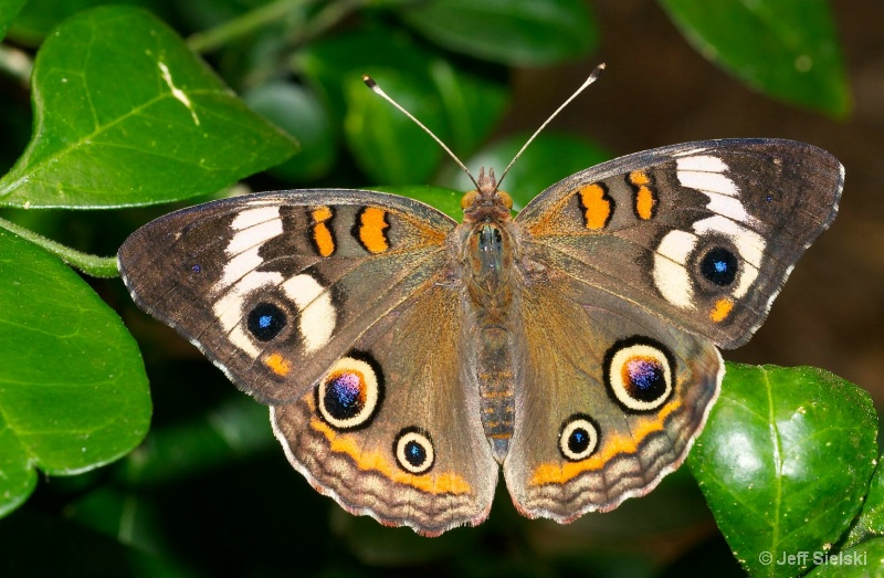 Just Hangin' Out!!   Buckeye Butterfly